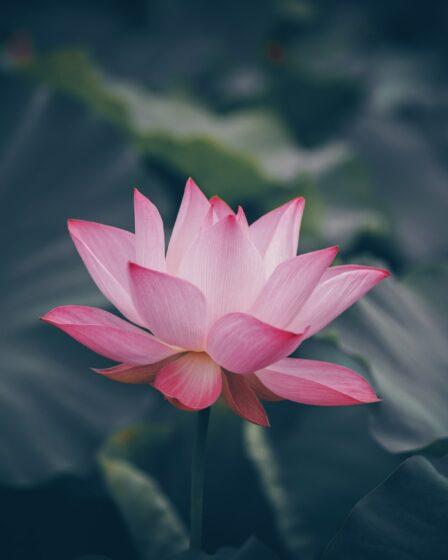 rosa lotus bluete im wasser